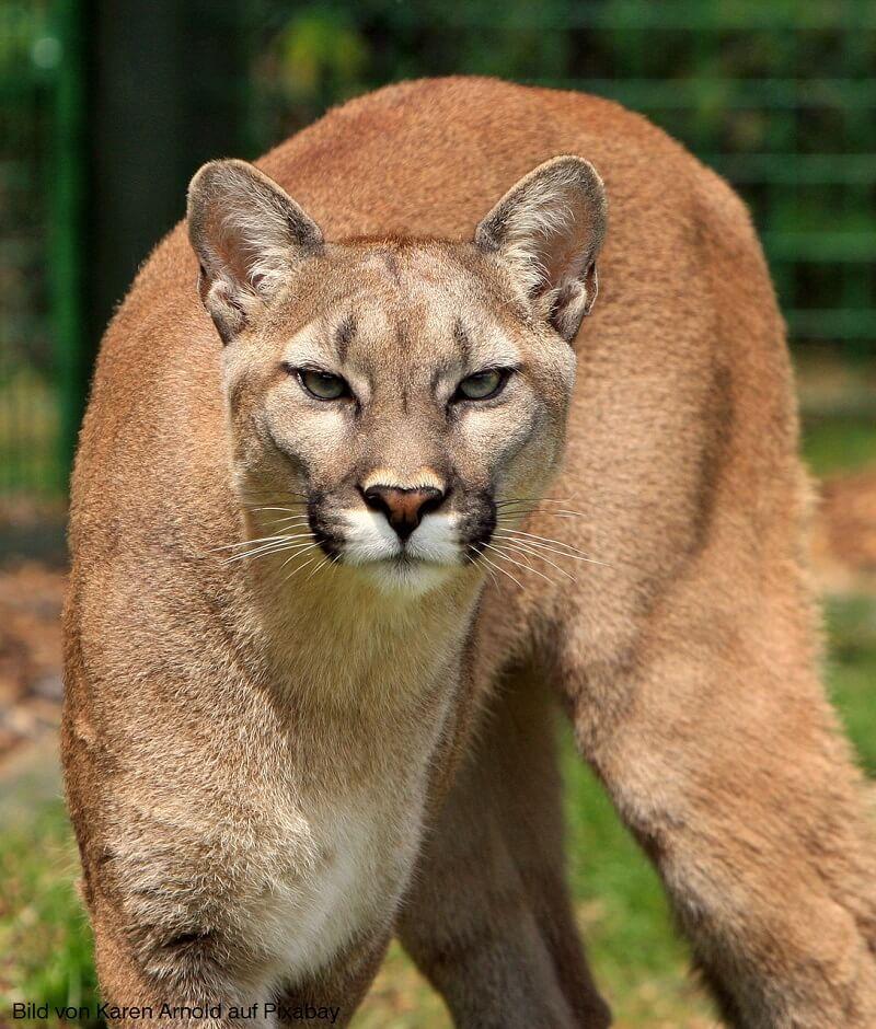 Bei Ihnen sitzt ein Puma in der Garage